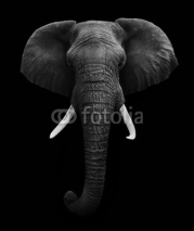 Fototapety African Elephant isolated