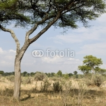 Fototapety Scenic view with tree in the Serengeti, Tanzania, Africa