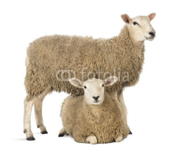 Fototapety Sheep standing over another lying