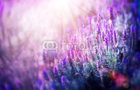 Naklejki Lavender Flowers Field. Growing and Blooming Lavender