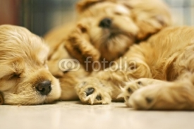 Fototapety sleeping dog
