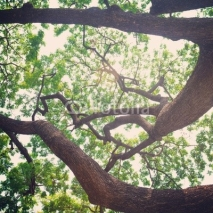 Fototapety vintage old branches tree and green leaf