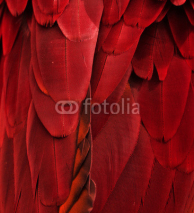 Fototapety Red/Maroon Feathers