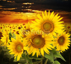 Fototapety sunflowers on a field and sunset