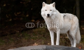 Fototapety Arctic Wolf Looking at the Camera