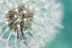 Fototapety Dandelion fluffy seeds over blue
