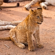 Fototapety Baby lion sitting in the grass