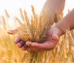 Fototapety young farmer in a wheat field