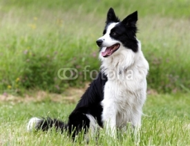 Fototapety Border Collie