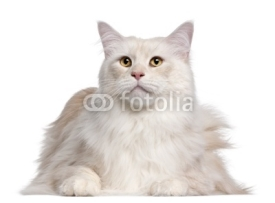Naklejki Maine Coon cat, 3 years old, in front of white background