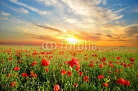 Fototapety field with poppies