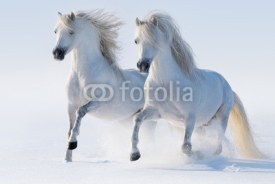 Fototapety Two galloping snow-white horses