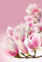 Fototapety photo of magnolia