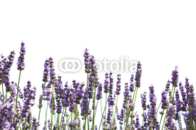 Fototapety Purple lavender flowers