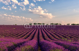 Fototapety Gentle pink sunrise over the endless lavender fields in Provence, France