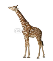 Fototapety Somali Giraffe, commonly known as Reticulated Giraffe