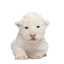 Naklejki White Lion Cub (1 week)