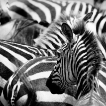 Fototapety pattern of zebras