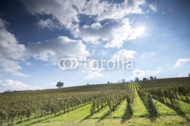 Obrazy i plakaty Vineyard under blu sky