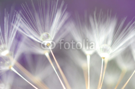 Naklejki water droplet on dandelion seeds