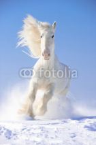 Obrazy i plakaty White horse stallion runs gallop in front focus