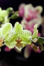 Fototapety Yellow and purple orchids isolated on black background
