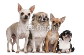 Naklejki Four Chihuahuas in front of white background