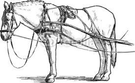 Fototapety white horse in harness