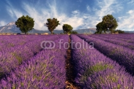 Naklejki Lavender field in Provence, France