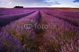 Naklejki Beautiful lavender field landscape with dramatic sky