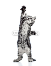 Obrazy i plakaty playful kitten cat isolated on white