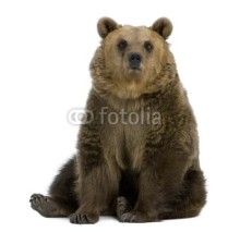 Fototapety Brown Bear, 8 years old, sitting in front of white background