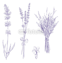 Naklejki lavender pencil drawing vector set