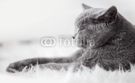 Naklejki Young cute cat sleeping on cosy white fur. The British Shorthair
