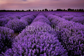 Naklejki Fields of Lavender at sunset