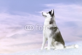 Fototapety husky on the north