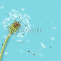 Fototapety White dandelion with pollens isolated