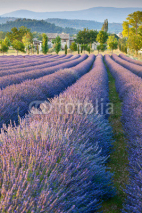 Fototapety Lavender field in Provence