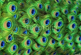 Fototapety Peacock Feathers