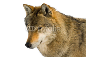 Fototapety European gray wolf (Canis lupus lupus) isolated