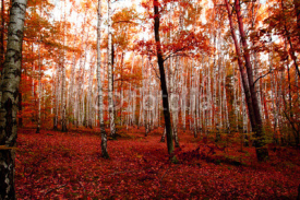Fototapety red autumn forest