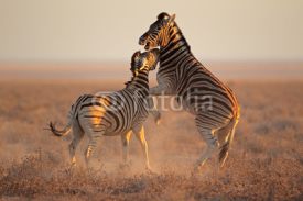 Fototapety Fighting Zebras, Etosha National Park