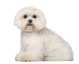 Naklejki Maltese, 1 year old, sitting against white background
