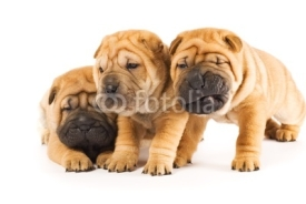 Naklejki Beautiful sharpei puppies isolated on white background