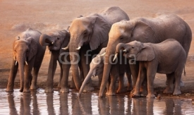 Fototapety Elephants drinking