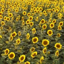 Obrazy i plakaty Sunflower field.