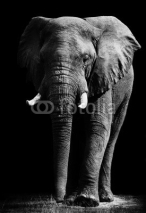 Fototapety Elephant isolated on black background