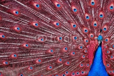 Peacock with Red Feathers