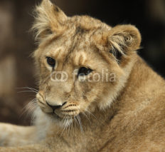 Fototapety Portrait of an Asian Lion Cub