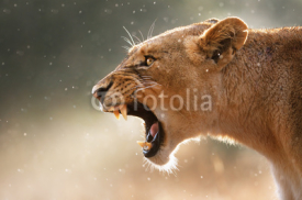 Fototapety Lioness displaying dangerous teeth